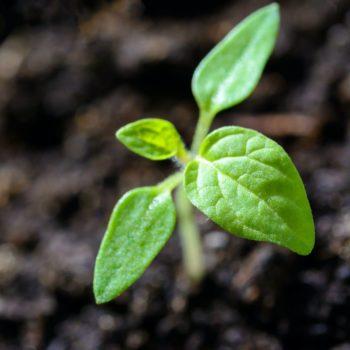 Plants/Seedlings